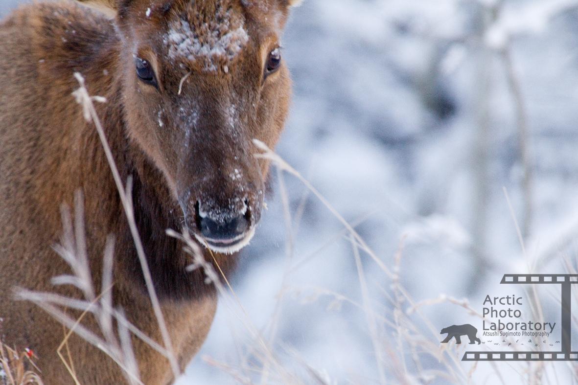 Elk アメリカアカシカ