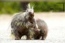 North American Porcupine カナダヤマアラシ