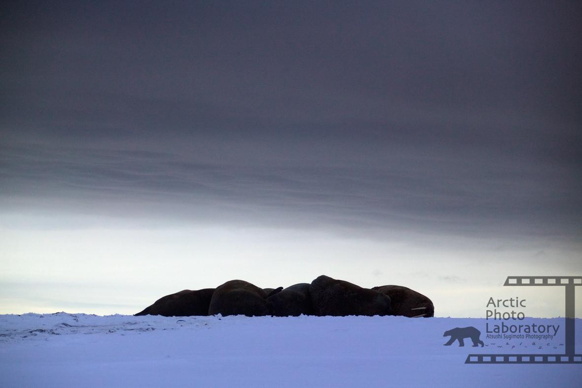 Walrus セイウチ