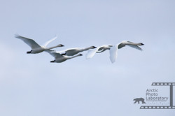 Trumpeter Swan ナキハクチョウ