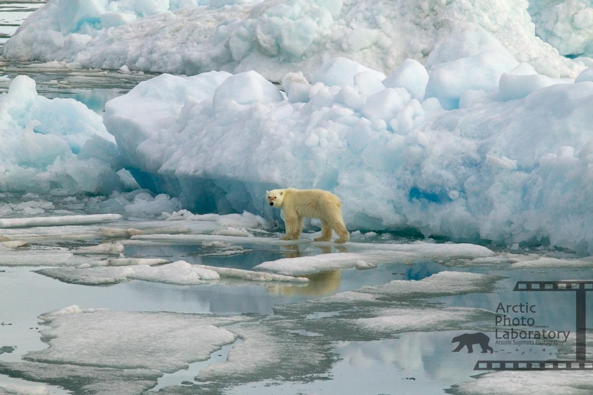 Polar Bear ホッキョクグマ