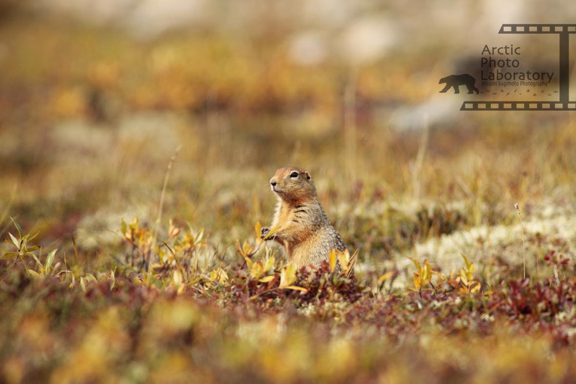 Arctic Ground Squirrel ホッキョクジリス