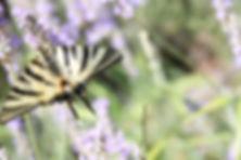 grand papillon.jpg