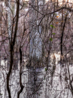 great dismal swamp cypress tree.jpg
