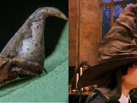 """New Species Discovery: The """"Sorting Hat"""" Spider"""