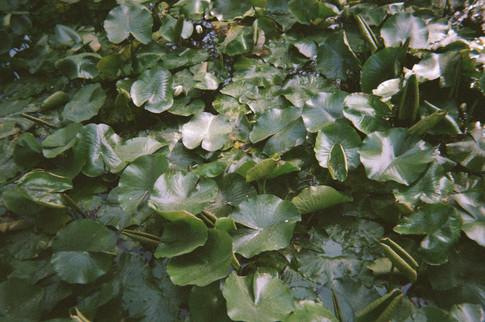 Park Lilies