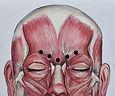 facial muscles.JPG