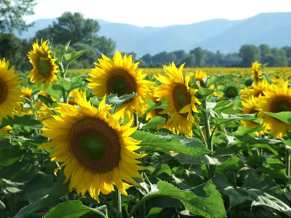 sunflowers-114350_1280.jpg