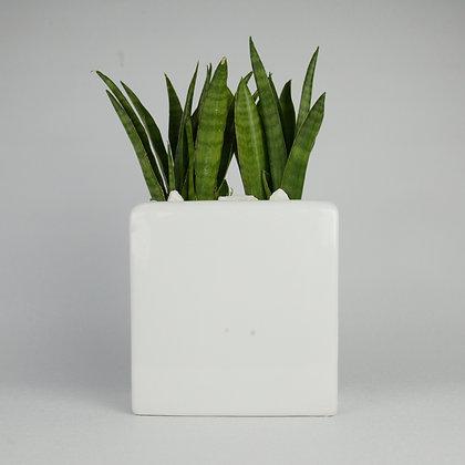 Sansevieria in Ceramic Trough Planter