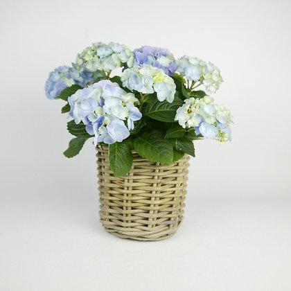 Purple Hydrangea Plant