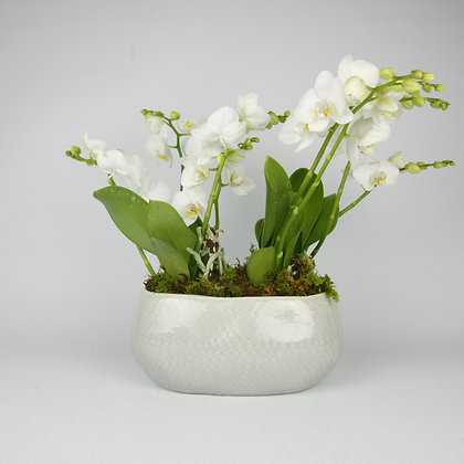 Phalaenopsis Orchid Tubre Pot