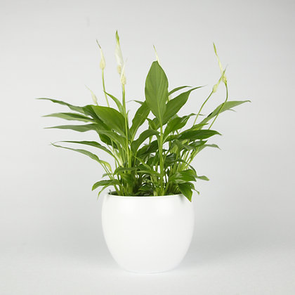 Spathiphyllum Pease Lily