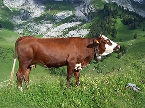 Abondance_cow_profile.jpg
