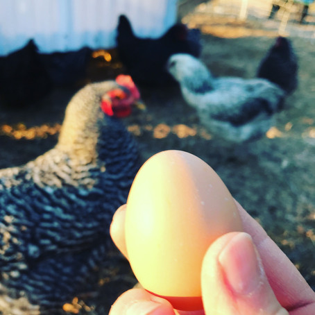 Pullet Eggs and Daffodil Days