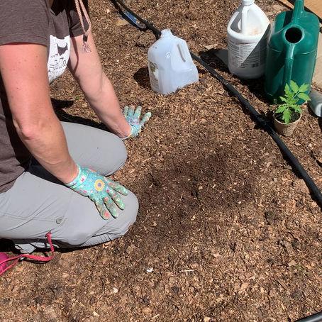 Farmette Victory Garden: Transplanting Tomato Seedlings