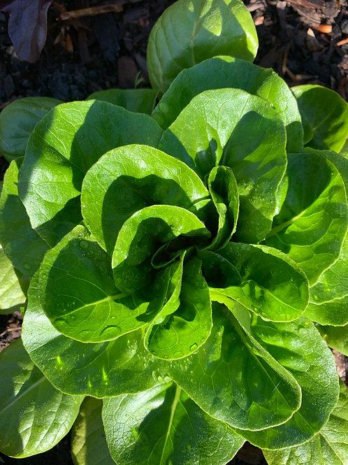 Mini-head green lettuce
