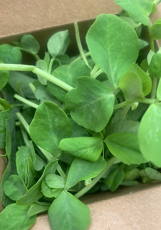 Pea shoots salad greens