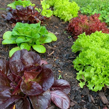 Farmette Kids Seed Lettuce