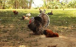 proud turkey