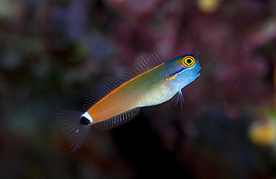 Gem FISH.png