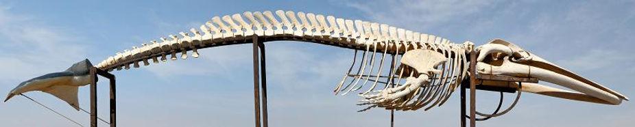 Wh Fin skeleton.jpg