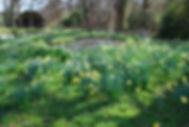 Daffodils Timber Hill Surrey