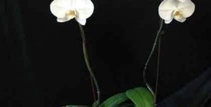 Double Orchid Planter. Please note that the pot may vary depending on availability.