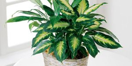 The Spathiphyllum and Dieffenbachia