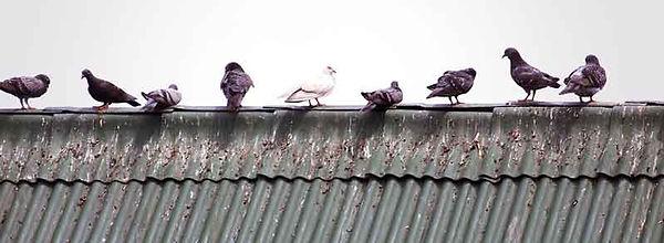 مكافحة-الطيور---مكافحة-الحمام---ابعاد-ال