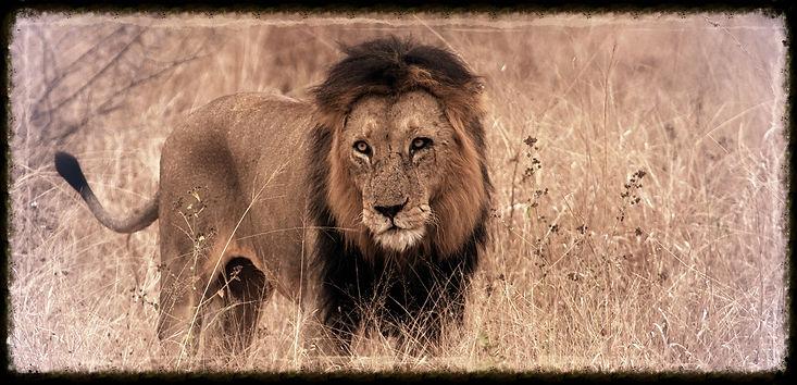Lion dans Parc Kruger