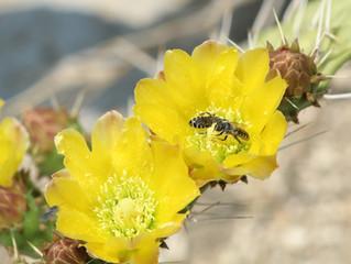 Visitantes florales de Cactáceas