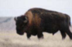 Bison_Badlands_BrianKenner_NPS.jpg