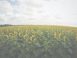 Sunflowers%20following%20the%20sun_edite
