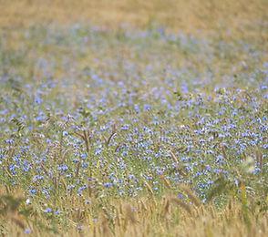 purple%20flower%20field%20during%20dayti
