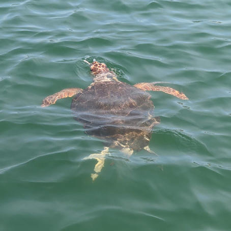 Sea turtle spotted next to the Sailing Chef Gulet.jpg