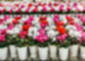 Cyclamen.jpg