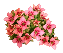 Pink Bicolor