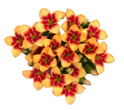 Yellow Bicolor
