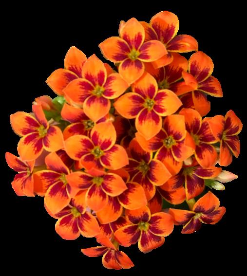 Orange Bicolor