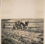 827 Three Horses Working in Field