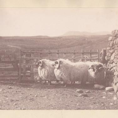 1179 Sheep
