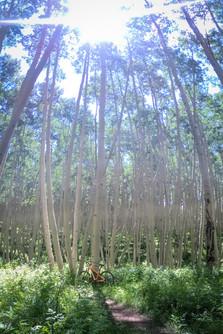 NEW trees.jpg
