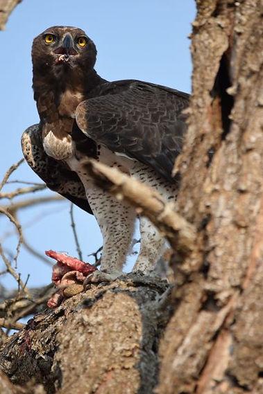 Marshall Eagle