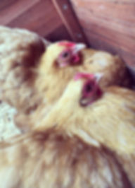 The Little Chicken Lady, blackpekin bantam
