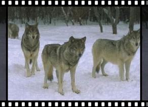 ▶ 團結作戰——狼 ◀