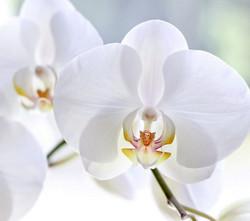 orquidea-phalaenopsis