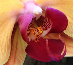 Zoom-orquidea