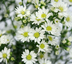 campo-aster