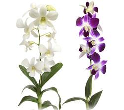 Orquidea-Denphal-Terra-Viva