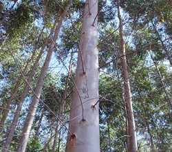 eucalipto-2